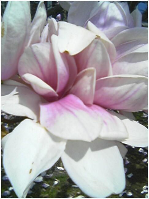 Magnolia In Bloom Earlier This Week